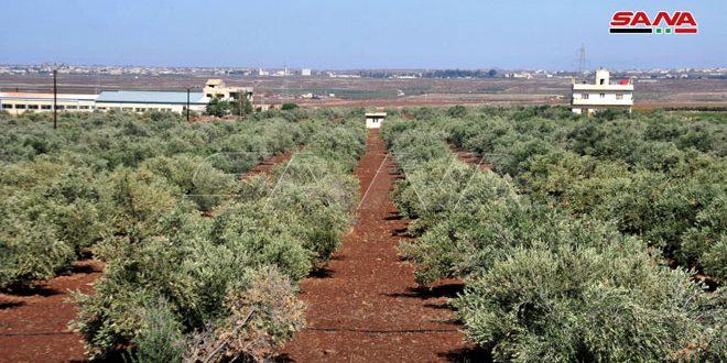 نحو 9850 طناً تقديرات إنتاج الزيتون بالسويداء