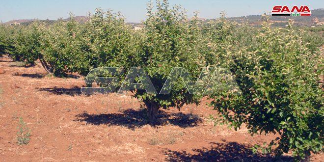 أكثر من 8 آلاف هكتار المساحات المتضررة بالتفاح في السويداء