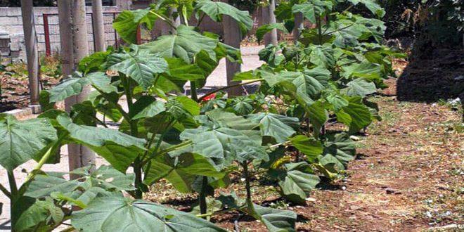 انطلاقاً من جدواها الاقتصادية… تجربة لزراعة أشجار الباولونيا بالسويداء