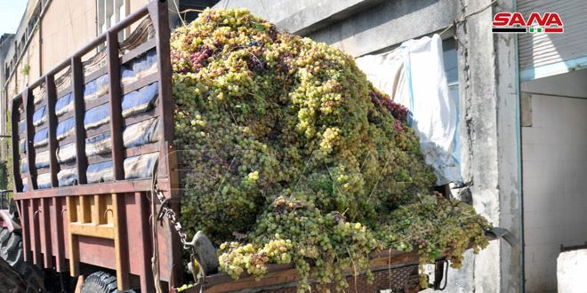 تحويل 250 مليون ليرة لصرفها لأثمان العنب بالسويداء.. واستلام أكثر من ألفي طن من الإنتاج