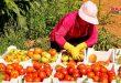 نحو 8600 طن تقديرات إنتاج البندورة بحمص ومزارعو المركز الشرقي يطالبون بإدراجهم ضمن الخطة الزراعية