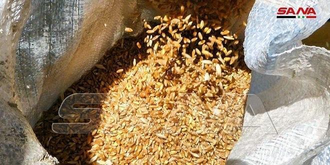 إكثار بذار درعا: غربلة وتعقيم 4500 طن من بذار القمح
