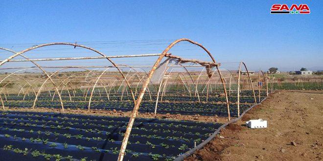 زراعة الفريز بريف تلكلخ.. تكلفة منخفضة ومصدر دخل مهم لأبناء المنطقة