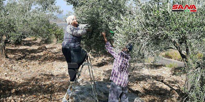 فلاحو قرية حبنمرة بريف حمص يجنون محصول الزيتون من الأشجار التي لم تصلها نيران الحرائق