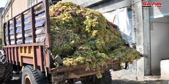 انتهاء استلام محصول العنب العصيري بالسويداء