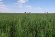 الزراعة تتخذ إجراءاتها استعداداً لعام القمح