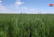 أكثر من 742 ألف هكتار المساحة المزروعة بالقمح والشعير في الحسكة