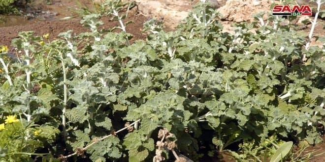 زراعة أكثر من 24 ألف هكتار بالمحاصيل الطبية والعطرية في الحسكة