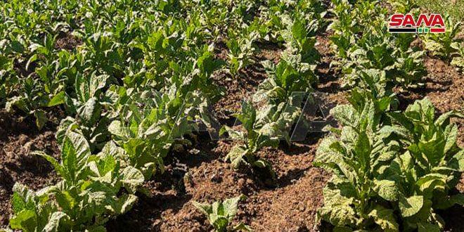 دعما للمنتجين في منطقة الغاب بحماة.. افتتاح مركزي مؤازرة لإنتاج شتول التبغ
