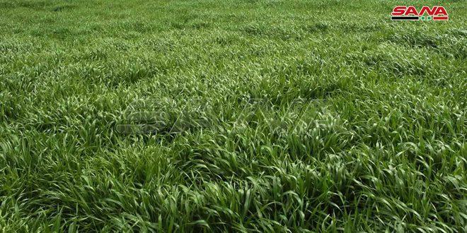 زراعة الحسكة: خلو الأراضي المزروعة بمحصولي القمح والشعير من الإصابات الحشرية