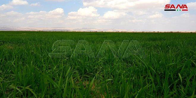 الهطولات المطرية في درعا تسهم بتحسين واقع الزراعات الشتوية