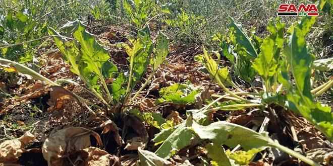 شركة سكر تل سلحب تعلن سعراً جديداً لاستلام محصول الشوندر من المزارعين