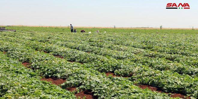 تأمين المازوت لمزارعي القمح المروي والخضار الصيفية بدرعا يحسن الواقع الزراعي ويزيد الإنتاج