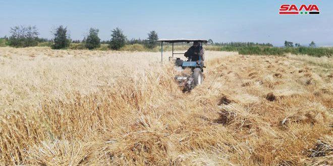 تقديرات باستلام 17 ألف طن من بذار القمح و300 طن من بذار الشعير في فرع إكثار درعا