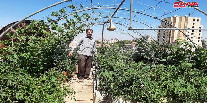 (حياة).. مبادرة لرجل ستيني من السويداء باستثمار سطح المنزل بالزراعة وتحقيق الاكتفاء الذاتي