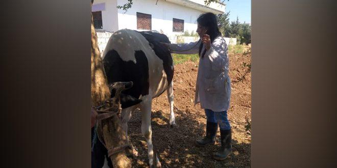 لأول مرة في سورية… طبيبة بيطرية تقوم بأعمال التلقيح الاصطناعي للأبقار