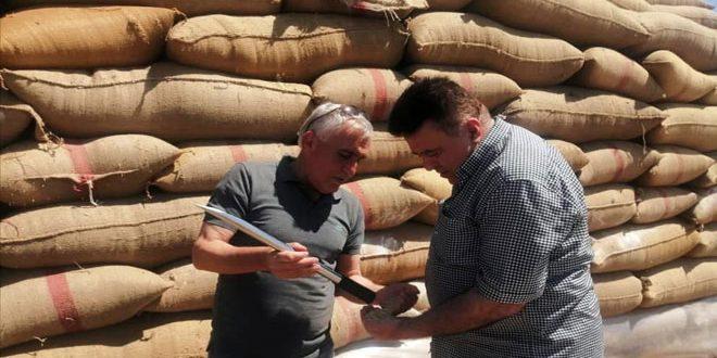 غربلة وتعقيم ثلاثة آلاف طن من بذار القمح في حماة