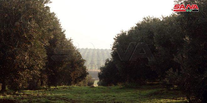 الزراعة: أكثر من 645 ألف طن تقديرات إنتاج الزيتون هذا الموسم