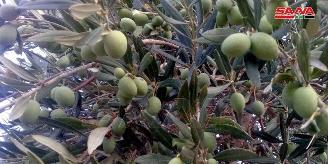 تحديد أجور عصر الزيتون بطرطوس
