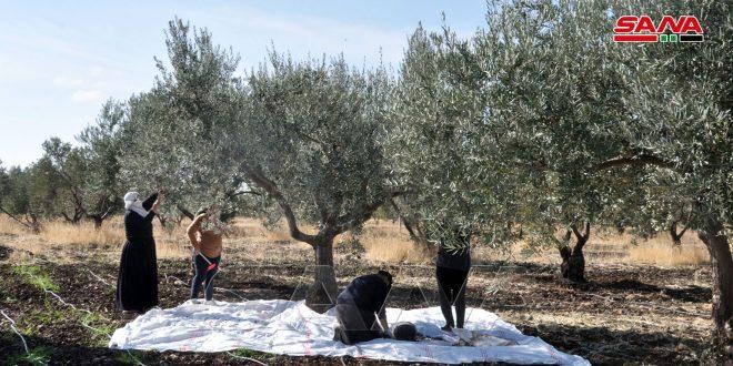 الزراعة تحدد موعد قطاف الزيتون.. وتوصيات لضمان سلامة الثمار وجودة الزيت