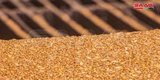 البدء ببيع بذار القمح المعقم لفلاحي درعا