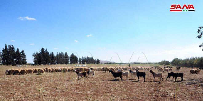 750 مربي أبقار وأغنام في سعسع يتحدون الصعوبات ويواصلون الإنتاج